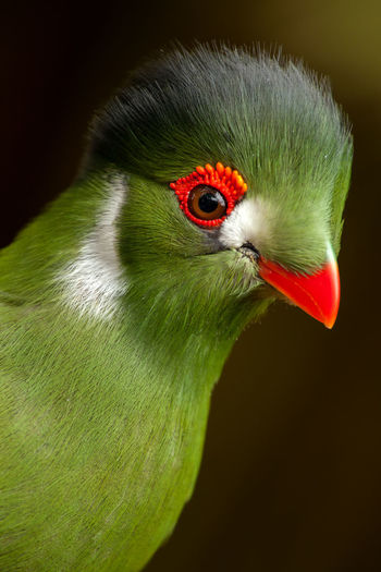 Tauraco Erythrolophus Tauraco Persa; Animal Themes Animals In The Wild Beak Bird Black Background Black Color Close-up Day Green Color No People One Animal Outdoors Parrot Red