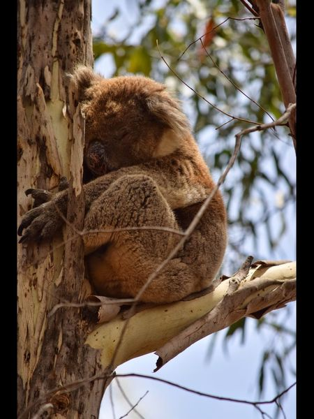 Koala On A Tree Koala Tree Animal Themes Animals In The Wild Plant One Animal Animal Animal Wildlife No People Mammal Day Branch Vertebrate Nature Low Angle View Focus On Foreground Close-up Outdoors Primate Relaxation