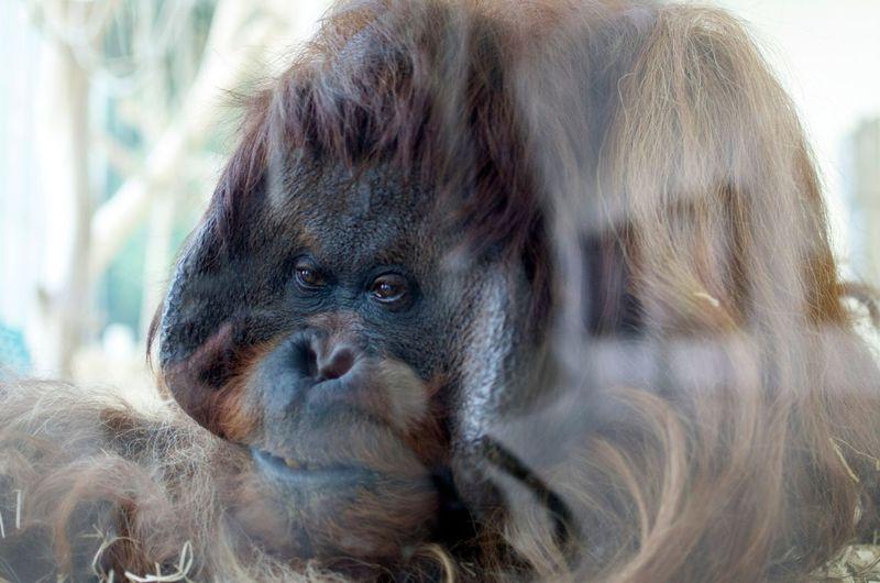 Close-up of orangutan behind glass