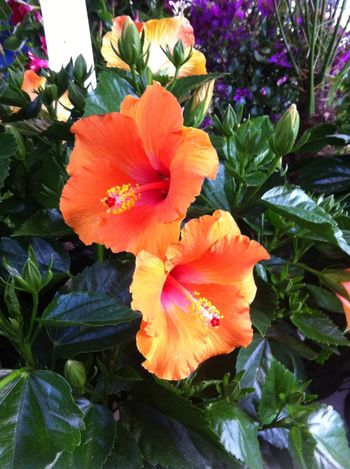 Hibiscus Des Fleurs Plants Flowers Fleurs Du Jardin First Eyeem Photo