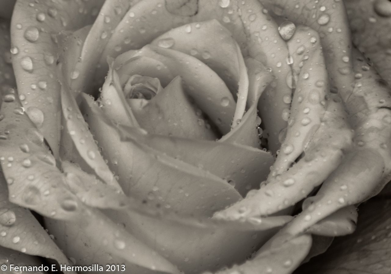 drop, flower, freshness, water, petal, nature, wet, rose - flower, backgrounds, beauty in nature, growth, full frame, flower head, fragility, no people, pattern, close-up, raindrop, blooming, outdoors, day