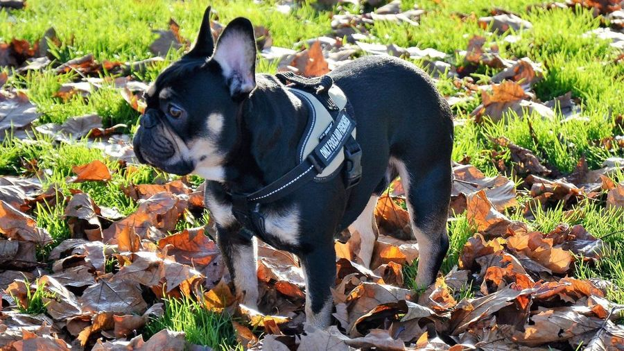 Domestic Animals Animal Themes Leaf Plant Mammal Dog Growth No People Field Pets Nature Day Outdoors onlyfoolsandfrenchies delboythefrenchie blackandtanfrenchbulldog frenchbulldog BLACK AND TAN FRENCHBULLOG Rodney Frenchbulldog Onlyf Fools And Frenchies HANDSOME DOGS