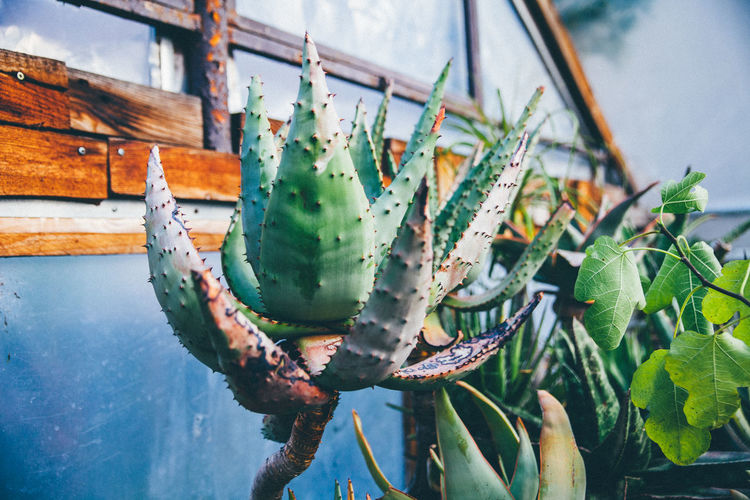 Cactuses growing in greenhouse