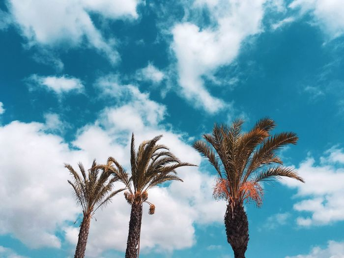 Palm trees against the blue sky with clouds Sky Cloud - Sky Low Angle View Plant Tree Growth Nature Beauty In Nature No People Palm Tree Tropical Climate Day Outdoors Blue Tranquility Sunlight Tranquil Scene Scenics - Nature Tall - High Leaf