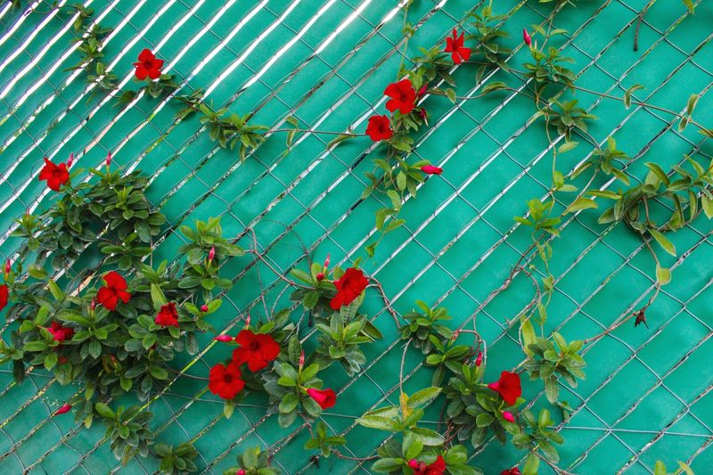 Flower Poppy Red Tree Protection Safety Leaf Sky Plant Green Color Rose Hip Wild Rose Rotten Ivy Rotting Chainlink Overgrown Ghost Town Barbed Wire Great Plains Apple Tendril Creeper Rowanberry Creeper Plant Growing Fence Vine Chainlink Fence