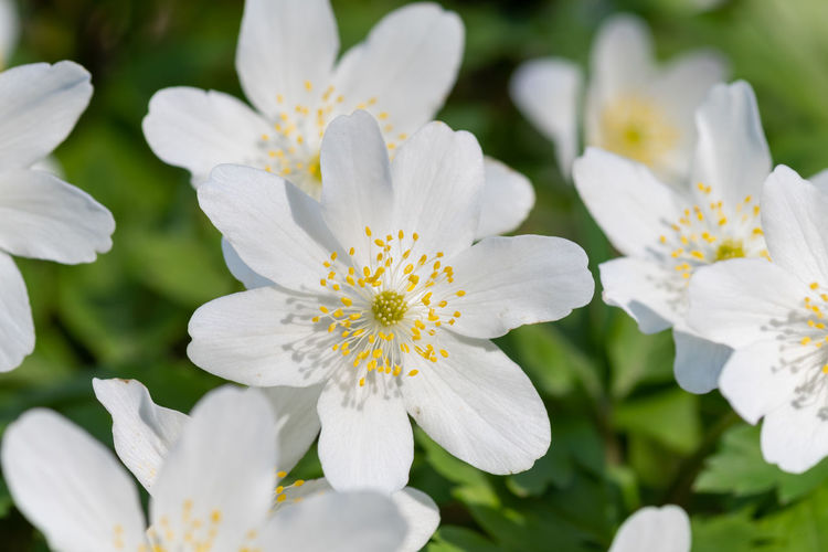 Close up of wood anemone flowers in bloom