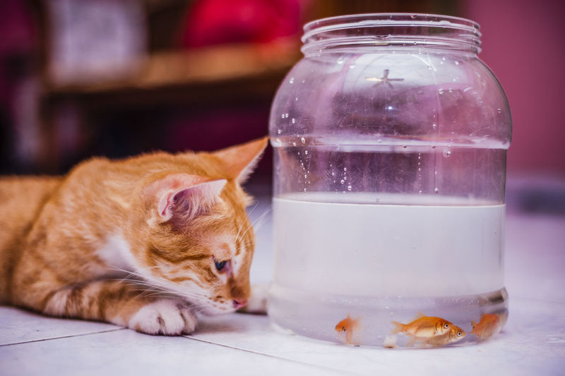 Cat looking at fish in glass jar