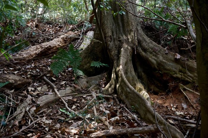Buttress Buttress Roots Forest Japan Outdoor Root Tree Trunk Wood