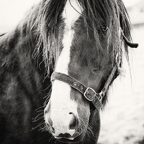Equine Equinephotography Animal Horse balck&white