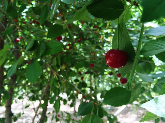 Sour Cherry Check This Out Tree Garden Taking Photos Iran♥ Iran Iranshots Beauty In Nature Beautiful Awesome Magical Trees