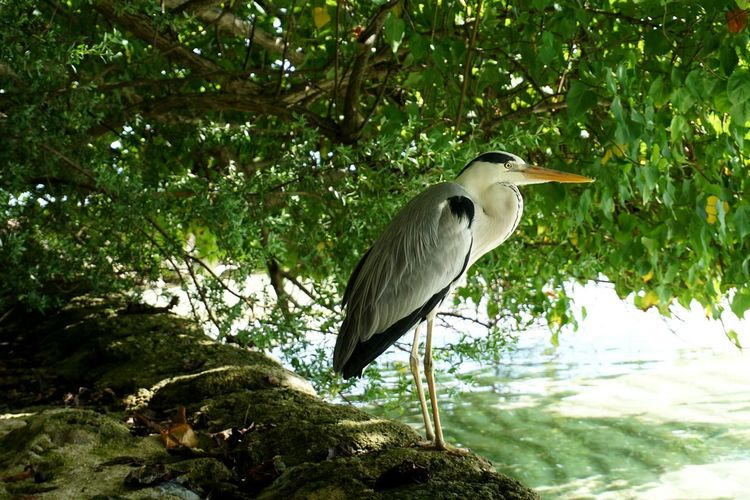Heron Bird Animal Themes Animals In The Wild One Animal Animal Wildlife Tree Perching Nature No People Outdoors Beauty In Nature