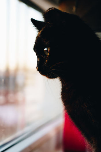 Pets One Animal Indoors  Cat Cats Cats Of EyeEm Kitten Kitty Black Cat Black Home Home Interior Young Sunset Golden Hour Profile Whisker Animal Nose Animal Head  Window Animal Eye Looking Away Looking Close-up Feline