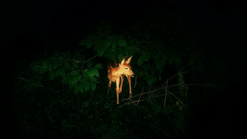 Deer Fawn Little Baby Wildlife Mammal Nighttime Woods Trees Dark Peeking Out Hiding Lost Afraid Timid Fine Art Photography From My Eyes To Yours Letgodhandleit Alone In The Woods Bushes And Trees Animal Spotted Deer Outdoors Beauty In Nature Hello World The Secret Spaces TCPM