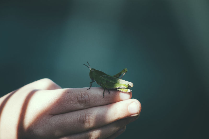Close-up of grasshopper on hand
