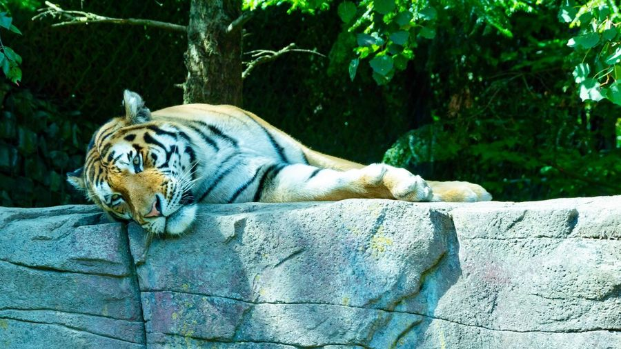 Tiger relaxes Eos 80d EyeEm Nature Lover Canonphotography Canon EyeEm Best Shots Switzerland❤️ Tiger Animal Animal Themes Animal Wildlife Mammal Animals In The Wild Feline One Animal Outdoors Day Zoo Relaxation Tiger Cat Big Cat No People Nature Tree