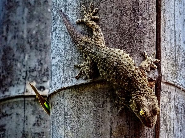 Go Gecko 🦎 One Animal Close-up Reptile Gecko Animals In The Wild Nature Bamboo Bamboo Grove Reptile Photography Reptiles Green Beauty Beauty In Nature Life Natural Habitat The Week On EyeEm Pet Portraits