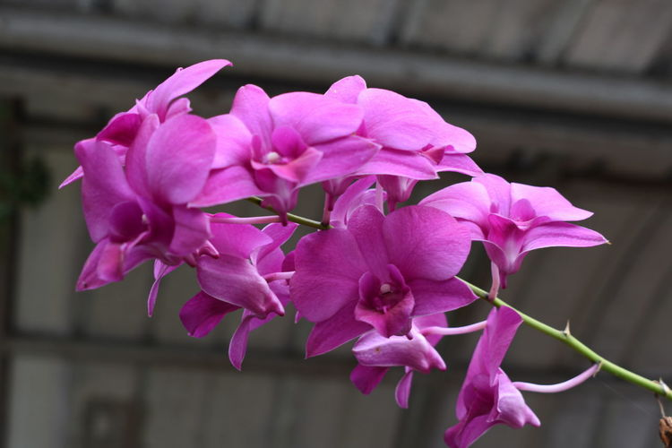 pink orchid Pink Orchid Flowers Pink Orchid Flower Head Flower Orchid Pink Color Petal Purple Close-up Plant In Bloom Botany Blossom