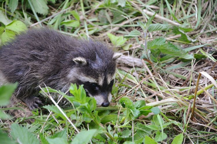 Kleines Waschbär Baby Raccoon Raccoons Raccoon Lover Baby Animals In The Wild Animal Wildlife Animal Animals Waschbär Tier Tierfotografie Babyanimals Cute Cute Pets Pets Pet Animal_collection One Animal Animals In The Wild Animal Wildlife Black Color Grass Field Outdoors Day Nature No People Animal Themes Mammal Close-up