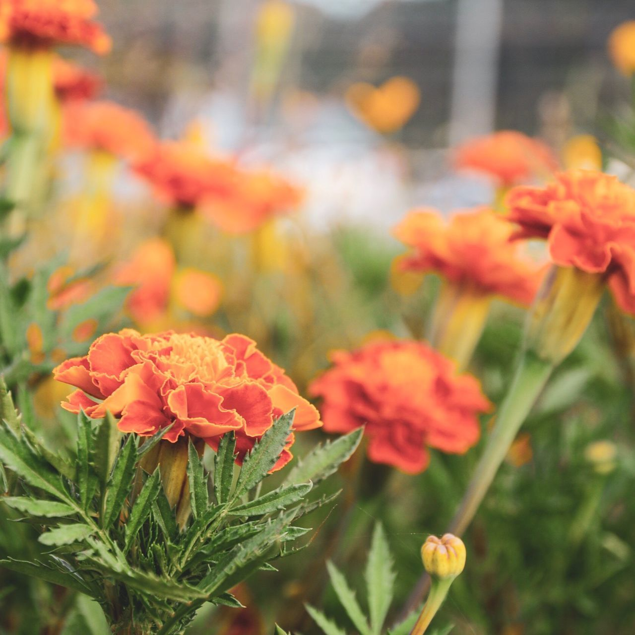 flowering plant, flower, beauty in nature, freshness, vulnerability, plant, fragility, petal, growth, close-up, focus on foreground, inflorescence, flower head, orange color, nature, day, marigold, no people, botany, outdoors, bunch of flowers