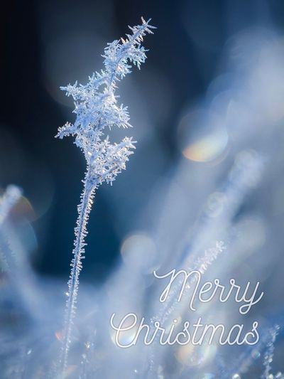 Merry Christmas! 🎄❤️🎅🏻   Christmas Christmas Tree Frost Grass Bokeh Macro Winter Blue Sweden No People Nature Close-up Growth Plant Outdoors Day Tree Beauty In Nature Fragility Freshness Eye4photography  EyeEm Nature Lover EyeEm Gallery Nature Nature_collection