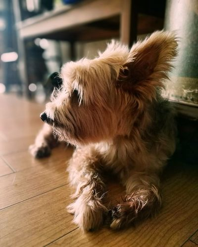 Dog Pets Hardwood Floor Domestic Animals Cute Sitting Close-up Silky Terrier Terrier Brown Browndog Doggo Indoors  Home Lazy