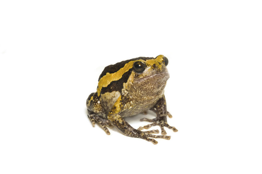 Bulldog on white background Amphibian Animal Animal Body Part Animal Eye Animal Themes Animal Wildlife Animals In The Wild Close-up Copy Space Cut Out Frog Full Length Indoors  Isolated Looking Away Nature No People One Animal Studio Shot Vertebrate White Background Zoology