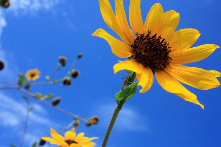Summertime Sunflower Beauty In Nature Blooming Close-up Flower Flower Head Freshness Nature No People Outdoors Petal Yellow