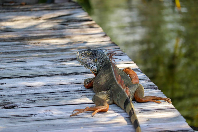 Lots of green iguanas in south Florida. Invasive species! Reptile Nature Tropical Outside Outdoors Sunbathing Iguana Animal Day No People Wood Pier Plank Wood - Material Animal Themes Close-up Selective Focus Canal Summer Animal Wildlife Wildlife