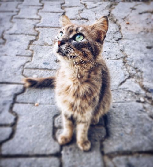 Cat looking up while sitting on paved footpath