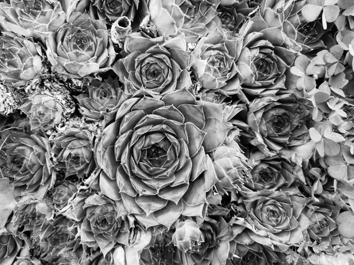 Hauswurz Sempervivum Amaranth Plant Blackandwhite Black & White Monochrome Honor Honorphotography Nature Nature_collection EyeEm Nature Lover EyeEm Masterclass Backgrounds Concentric Full Frame Close-up Plant Life