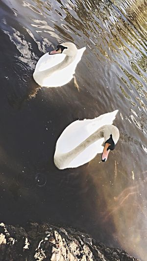Lake Swan Close-up Animals In The Wild High Angle View Rippled Nature Animal Themes