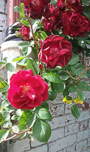 These roses are red...~ Climbing Plant My Point Of View Enjoying Life Taking A Walk Happiness Garden Plants Loving The Landscape Color Of Life Nature Lover Happy Moment No People Beauty In Nature Nature_perfection Brick Wall In Portland Maine USA Flower Head Flower Red Leaf Petal Rose - Flower Close-up Plant Blossom Plant Life Rosé
