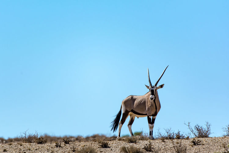 Portrait of gemsbok standing on field against clear blue sky