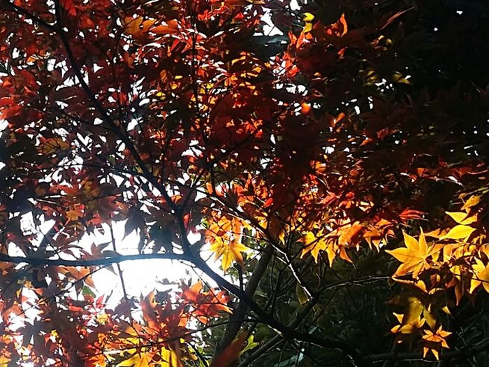 Autumn Colours Tokyoautumn Tokyoautumn2016 Maple Tree Maple Leaves Maple Colours Of Maple Colours Of Nature Shinjuku Gyoen National Garden Tokyopark Tokyonature Japan