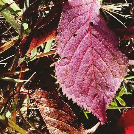 Autumn Leaves 紅葉 朝露 やがて露から霜に…。もう少し秋を楽しませて🍂