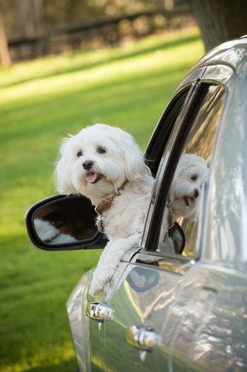 Small white dog sitting with head out of the window of car Car Motor Vehicle Canine Dog Mode Of Transportation Pets Domestic Animal Themes Day No People Animal Vehicle Car Ride  Domestic Animals One Animal Outdoors Small Maltese White Dog Window