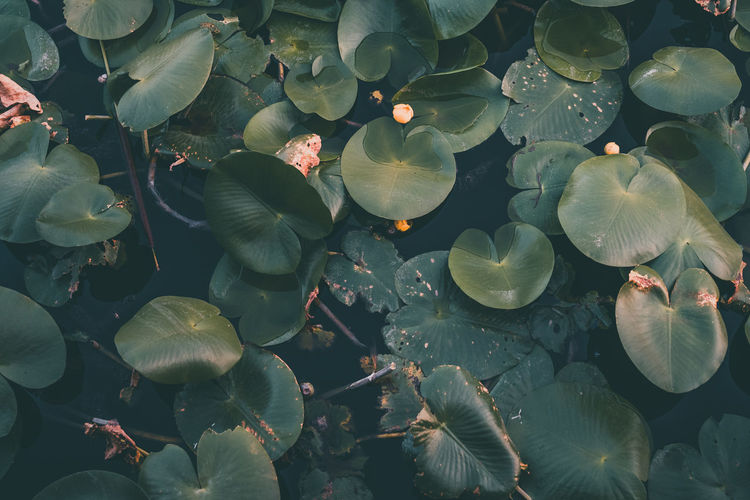 Water lillies Dark Green Green Color Animal Wildlife Background Backgrounds Beauty In Nature Close-up Floating On Water Lake Leaf Leaves Marine Nature No People Outdoors Park Plant Part Sea Underwater Wallpaper Water Water Lillies Water Lily Yellow My Best Travel Photo