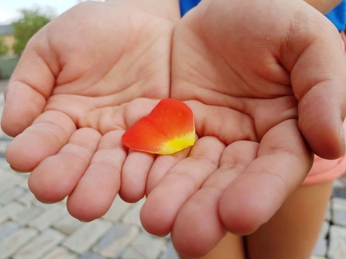 rose petal in girl hands Rose Petal Human Hand Healthy Lifestyle Child Holding Childhood Palm Handful Close-up Finger