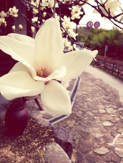Spring Flowers Blossom Magnolia Eye4photography
