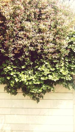 Growth Nature No People Green Color Tree Plant Beauty In Nature Flower Built Structure Day Ivy Freshness Architecture Fragility Outdoors کرمانشاه Kermanshah Tree Iran Wall درخت Beauty Lovely Tree