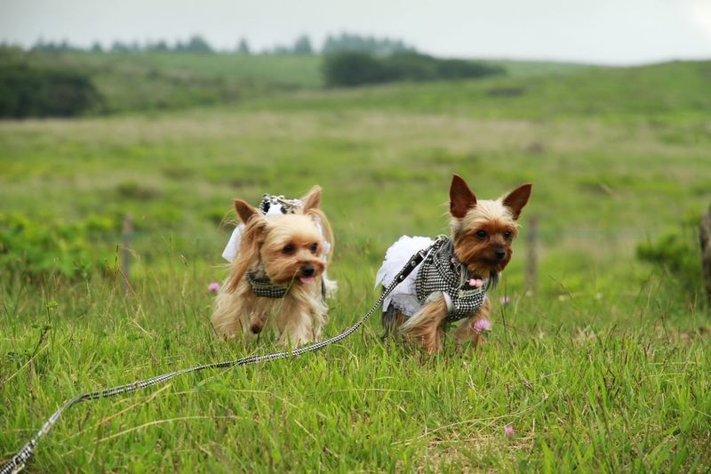 Front view of hairy dogs running on grass