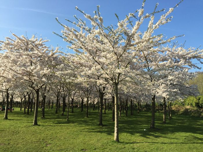 Cherry Blossoms Amsterdam Spring Cherry Tree Relaxing Enjoying The Sun Walk Park Your Amsterdam Amsterdamse Bos