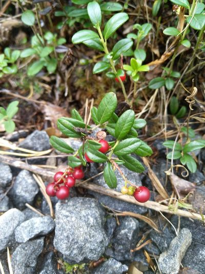 Bilberry Forest Beatiful Nature Nordic Life Nature Beatiful World Nordic Nature Berries And Leaves Berry Picking Berry Plant Berrys Berry Bush Berries On Branch Berries Yum Berrie Leaf Fruit Red Close-up Plant Green Color Food And Drink Petal Fragility