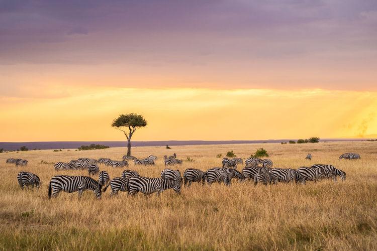 Kenya Animal Animal Wildlife Animals In The Wild Grass Group Of Animals Herd Landscape Mammal No People Outdoors Safari Safari Animals Sky Striped Vertebrate Wildebeest Zebra