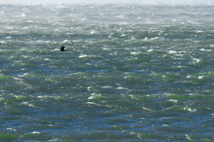 Beauty In Nature Cormorant Flying Day Nature Outdoors Sea Sea Smoky By The Wind Water Waterfront Wave