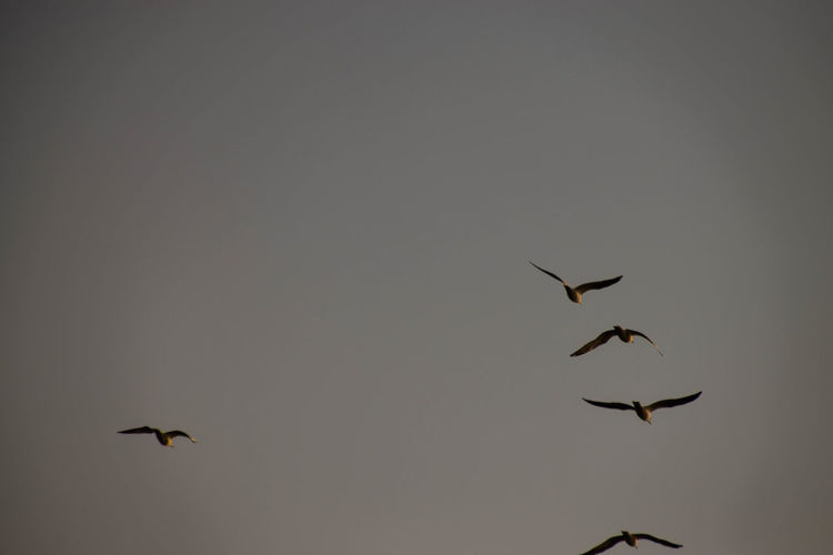 Bird Spread Wings Bird Of Prey Flying Mid-air Sky Animal Themes Fly Animal Migration Housefly