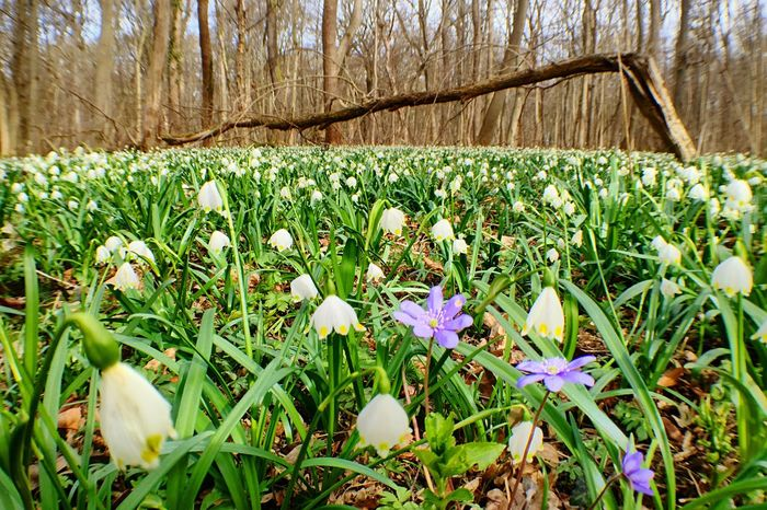 In the spring snowflake forest HDR Nature Iphone 6 IPhoneography Iphone6 Spring Flowers Colors