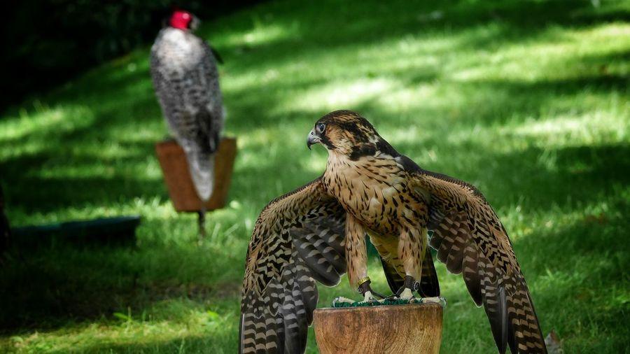 Hawks on woods