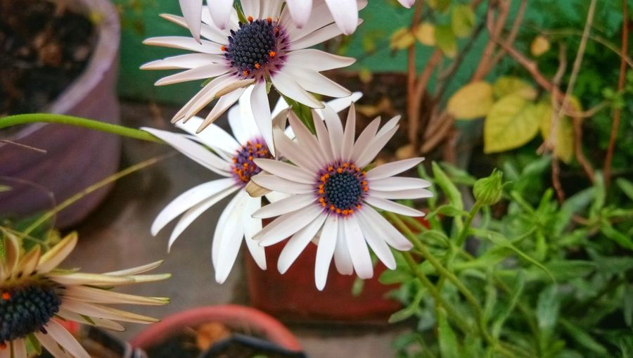 Close-up of white daisy flowers in park