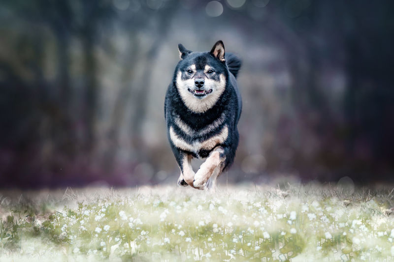 Portrait of shiba inu running on field